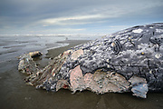 A young female Gray Whale washed up on the beach near Kalaloch, on the Olympic Peninsula in Olympic National Park. The carcass had been chewed by great white sharks and orcas before becoming beached.