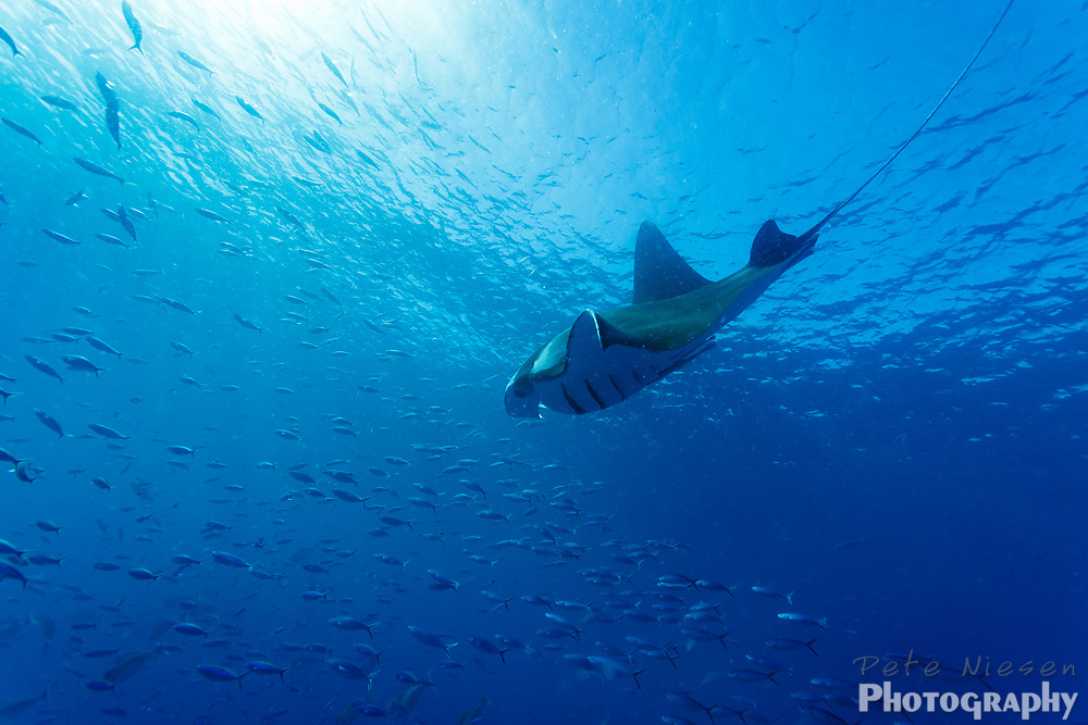 Manta ray, Mobula alfredi, dives through a school of fish in clear blue waters