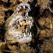 American crocodile (Crocodylus acutus) jaws in seagrass. Jardines de la Reina, Gardens of the Queen National Park, Cuba.