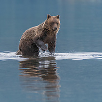Grizzly bear cub-of-the-year fishing near the shore of the Chilko River British Columbia, Canada