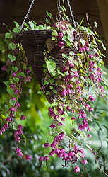 Rhodochiton atrosanguineus in a hanging basket. Purple bell vine
