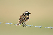 Whinchat, Saxicola rubretra, male, summer plumage, on barbed wire fence, Sutherland, Highland.<br /> animal; animals; bird; birds; chat; chats; nature; wildlife; adult<br /> one; single; lone; alone; stood; standing; look; looking; watch;<br /> watching; rural; farm; farml