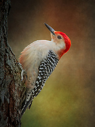 A Fluffy Red-Bellied Woodpecker Perched On A Tree After An Afternoon Rain