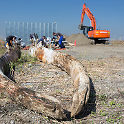 Scientists, students and volunteers engaged in cleaning the bones of an 18-meter long female fin whale (Balaenoptera physalus) that was found floating in Tokyo harbor in early 2012 and buried for about 16 months to facilitate decomposition. Even with the passage of so much time, there was still significant soft tissue and a power odor. The lower jaw bones are pictured here, with the bulldozer in the background that was used to exhume the whale carcass.