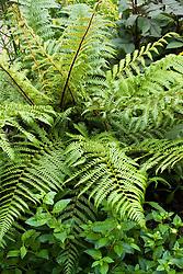 Dicksonia squarrosa AGM. Tree fern