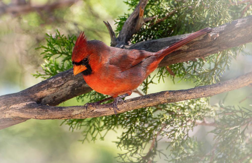 Cardinal at Pipe Creek House