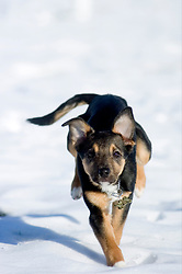 Small young black and tan mongrel puppy runs across snow covered park.