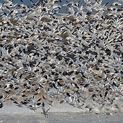 Snow geese (Chen caerulescens) lift off of a small pond in Bosque del Apache National Wildlife Refuge, New Mexico.