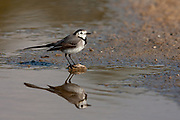 White wagtail (Motacilla alba) standing in a pool. White wagtails are insectivorous, preferring to live in open country where it is easy to spot and pursue their prey. Photographed in the Negev Desert, Israel In December