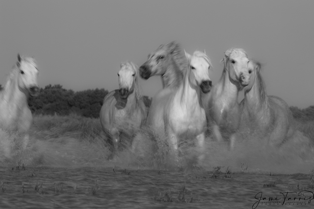 A black and white of white horses of the Camargue (Equus ferus caballus) running through a lake, manes flying in the wind with water splashing motion blur, evening light,  La Camargue, Provence, France