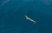 Aerial view of dolphin swimming at Adriatic sea, Croatia.