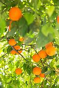 Oranges growing in Cadiz, Spain