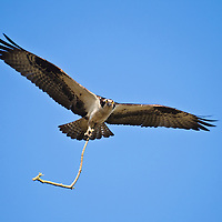 An adult osprey (Pandion haliaetus) carries a large stick as it flies back to its nest on Port Mahon Road, Port Mahon, Delaware.