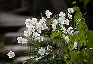 White Japanese anemones in the Kenrokuen Garden, Kanazawa, Ishigawa, Japan