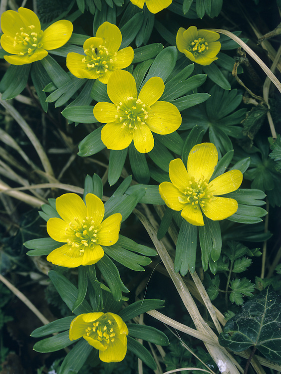 WINTER ACONITE Eranthis hyemalis (Ranunculaceae) Height to 10cm. Attractive perennial that sometimes forms carpets on woodland floors. FLOWERS are 12-15mm across, with 6 yellow sepals; borne on upright stems, above the leaves (Jan-Apr). FRUITS are dry, many-seeded and splitting. LEAVES are spreading (3 per stem) and each divided into 3 lobes.