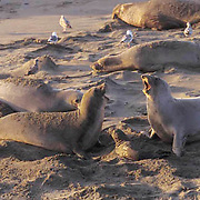 Northern Elephant Seal, (Mirounga angustirostris)  Females confront each other with newborn pup between them. California.