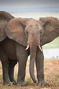 Nature photograph of a single African elephant (Loxodonta africana) calf in Tarangire National Park, Tanzania