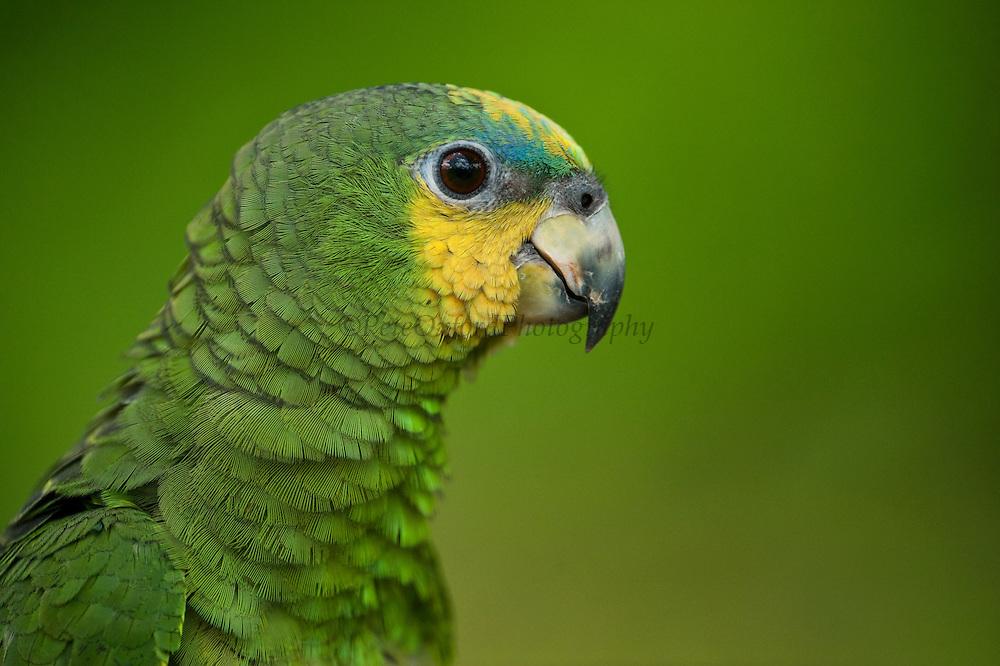 Orange-winged Parrot (Amazona amazonica)<br /> Rain Forest<br /> Iwokrama Reserve<br /> GUYANA<br /> South America<br /> RANGE: Bolivia, Brazil, Colombia, Ecuador, French Guiana, Guyana, Peru, Suriname & Venezuela