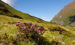 THEMENBILD - Alpenrosen, aufgenommen am 15. Juni 2017, Kaprun, Österreich // Alpine roses on 2017/06/15, Kaprun, Austria. EXPA Pictures © 2017, PhotoCredit: EXPA/ Stefanie Oberhauser