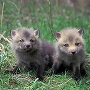 Red Fox, (Vulpus fulva) Pair of young kits explore area near den. Spring. Captive Animal.