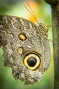 Yellow-edged Giant Owl Butterfly, (captive)Mashpi Reserve. Ecuador, South America