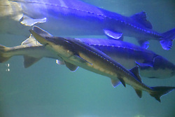July 3, 2018 - Jiamusi, Jiamusi, China - Jiamusi, CHINA-The world's largest freshwater fish, weighing 2 ton, can be seen at the largest freshwater aquarium in Jiamusi, northeast China's Heilongjiang Province. (Credit Image: © SIPA Asia via ZUMA Wire)