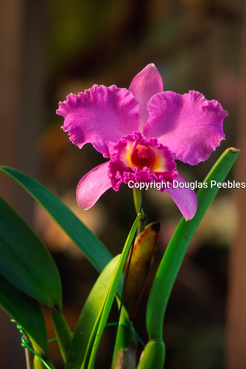 orchid<br />