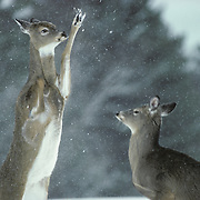 Two Whitetail Deer (Odocoileus virginianus) does fight over food spot in Wisconsin.