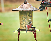 Rose-breasted Grosbeak. Image taken with a Nikon D850 camera and 200 mm f/2 VR lens.