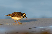 Common ringed plover (Charadrius hiaticula) feeding on worms at Revtangen (Rogaland, western Norway) in September.
