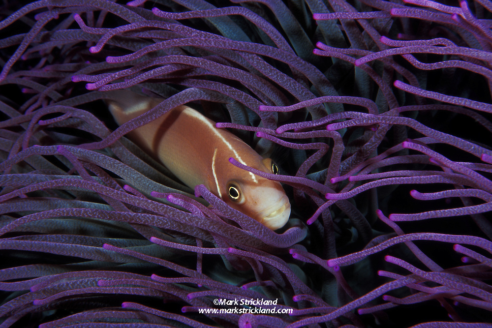 A Pink Anemonefish, Amphiprion perideraion, peers from among the tentacles of its host anemone. Pulau Ruang, Sangihe Archipelago, North Sulawesi, Indonesia, Pacific Ocean