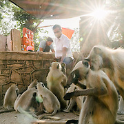 Gray langur monkeys at the Ranthambore National Park, a tiger reserve game drive.