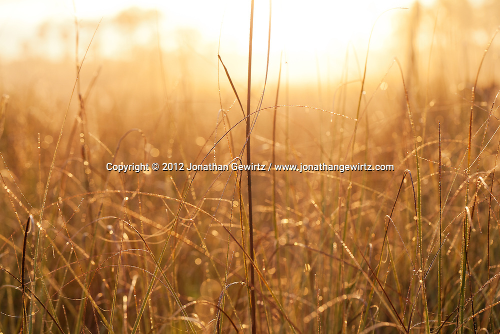 Golden light from the rising sun illuminates sawgrass stalks in Everglades National Park, Florida. WATERMARKS WILL NOT APPEAR ON PRINTS OR LICENSED IMAGES.