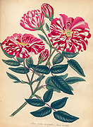 ROSA Gallica variegata; vel Rosa Mundi, Striped French Rose; or Rose of the World From the book Roses, or, A monograph of the genus Rosa : containing coloured figures of all the known species and beautiful varieties, drawn, engraved, described, and coloured, from living plants. by Andrews, Henry Charles, Published in London : printed by R. Taylor and Co. ; 1805.