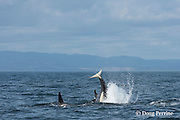 southern resident orca, or killer whales, Orcinus orca, tail throw or peduncle throw, off southern Vancouver Island, British Columbia, Strait of Juan de Fuca, Canada