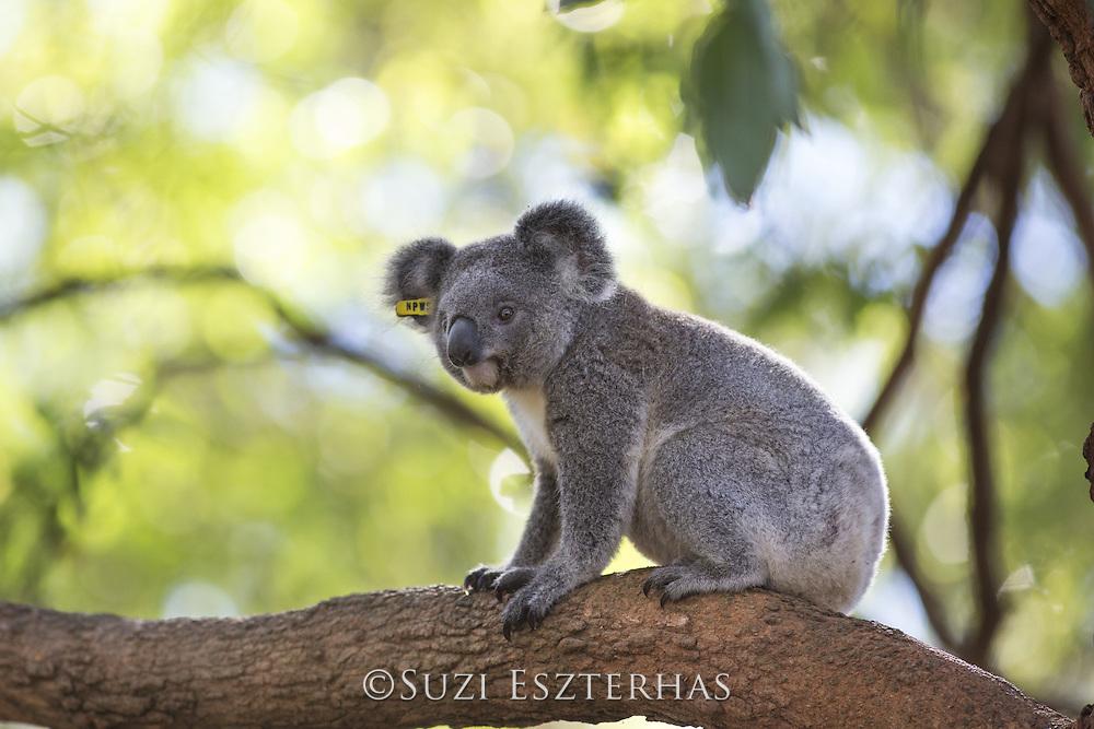 Koala <br /> Phascolarctos cinereus<br /> Juvenile (orphaned as baby and now awaiting release)<br /> Koala Hospital, Port Macquerie, Australia<br /> *Captive