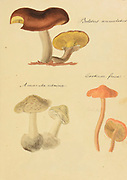 "Hand Painted illustration of North American Fungi from the book 'Icones fungorum Niskiensium' by Schweinitz, Lewis David von, 1780-1834 Publication date 1805. Lewis David de Schweinitz (13 February 1780 – 8 February 1834) was a German-American botanist and mycologist. He is considered by some the ""Father of North American Mycology"", but also made significant contributions to botany."