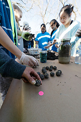 Volunteers making seed bombs at Great American Seed Bomb event harnessing volunteers to plant natives prairie and wildflower seeds in North Texas prairies, Great Trinity Forest, Dallas, Texas, USA
