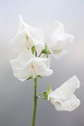 Lathyrus odoratus 'Royal Wedding' - sweet pea