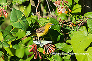 01618-01420 Orchard Oriole (Icterus spurius) female getting nectar on Dropmore Scarlet Honeysuckle Lonicera x brownii Marion Co. IL