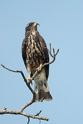 Snail Kite, Rostrhamus sociabilis, female, Panama, Central America, Parque Nacional Soberania, perched on high branch, blue sky background, feeds mostly on apple snails, pomacea which are found around the marsh areas of lakes and rivers