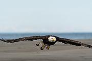 An adult bald eagle takes flight along the beach at Anchor Point, Alaska.