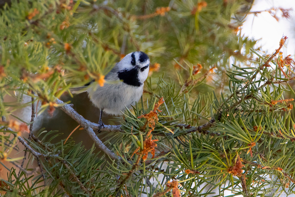 A mountain chickadee (Poecile gambeli) looks out from its perch as it looks for food in a Douglas fir tree in Yellowstone National Park, Wyoming. They feed on insects during the breeding season and conifer seeds through the remainder of the year.