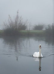 © under license to London News pictures.  16/11/2010. A swan sitting on a mist covered water at Northala Fields in Ealing, West London this morning (Tues). Much of the country has been shrouded in a lingering fog conditions which are expected to last throughout the day in many places. Photo credit should read Stephen Simpson/LNP