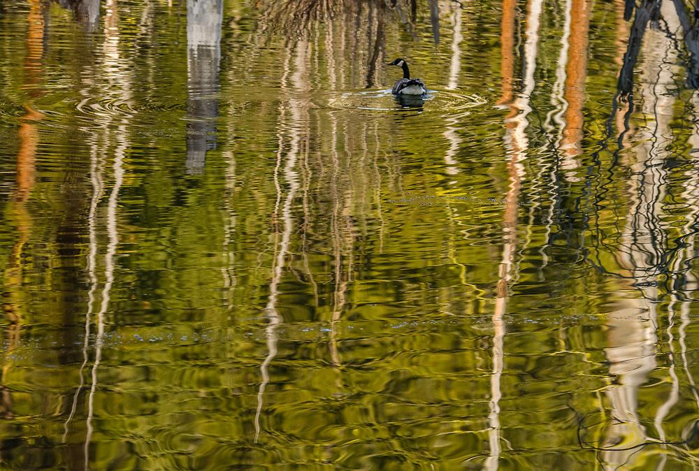 Canada goose (Branta canadensis) May, Methow Valley, Okanogan County, Washington, USA