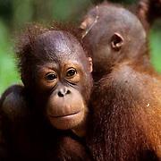 Orangutan, (Pongo pygmaeus) Portrait of juvenile pair hugging each other. Northern Borneo. Malaysia.  Controlled Conditons.