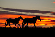 Wild horses at sunset in Wyoming