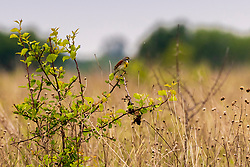 Dickcissel - This grassland bunting is marked like a small meadowlark, with a black V on a yellow chest. Dickcissels are wanderers and are common across the middle of the continent,  they also turn up in pastures and fields in the central and eastern United States. Dickcissels sometimes form enormous flocks on migration and in winter.