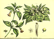 Atropa Belladonna [Deadly nightshade], Atropa Mandragora [Mandrake] from Vol 1 of the book The universal herbal : or botanical, medical and agricultural dictionary : containing an account of all known plants in the world, arranged according to the Linnean system. Specifying the uses to which they are or may be applied By Thomas Green,  Published in 1816 by Nuttall, Fisher & Co. in Liverpool and Printed at the Caxton Press by H. Fisher