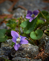 Macro of a Small Purple Flower in my Driveway. Spring Nature in New Jersey. Image taken with a Fuji X-T1 camera and 60 mm f/2.4 macro lens (ISO 200, 60 mm, f/11, 1/125 sec).
